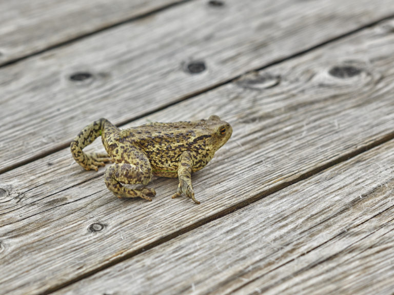 Frosch auf Holz